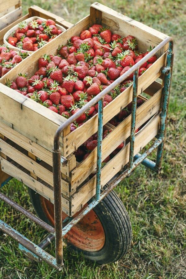 Fresh strawberrys of organic farming stock photo