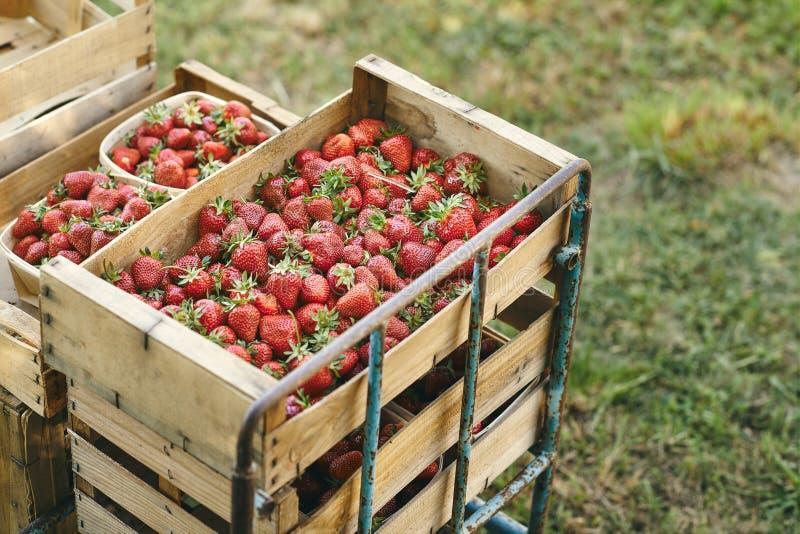 Fresh strawberrys of organic farming royalty free stock image