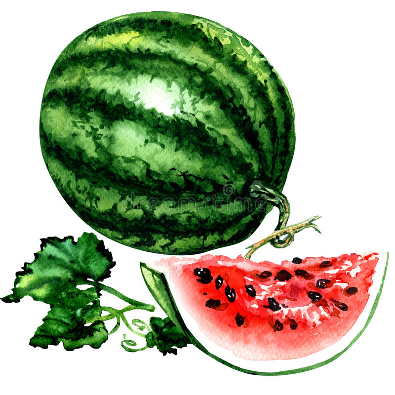 Fresh striped watermelon with leaves, whole and slice isolated, watercolor illustration on white stock illustration
