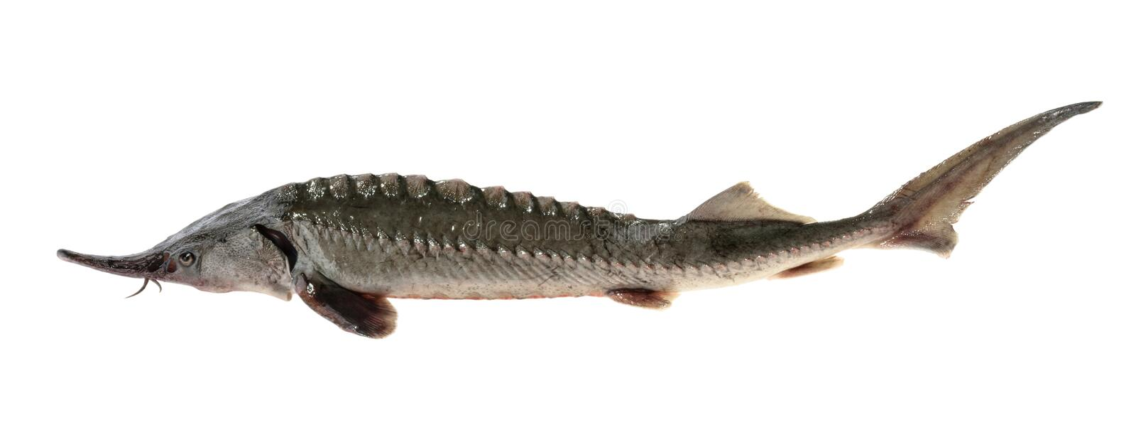 Fresh sturgeon fish isolated on white without shadow.  royalty free stock images