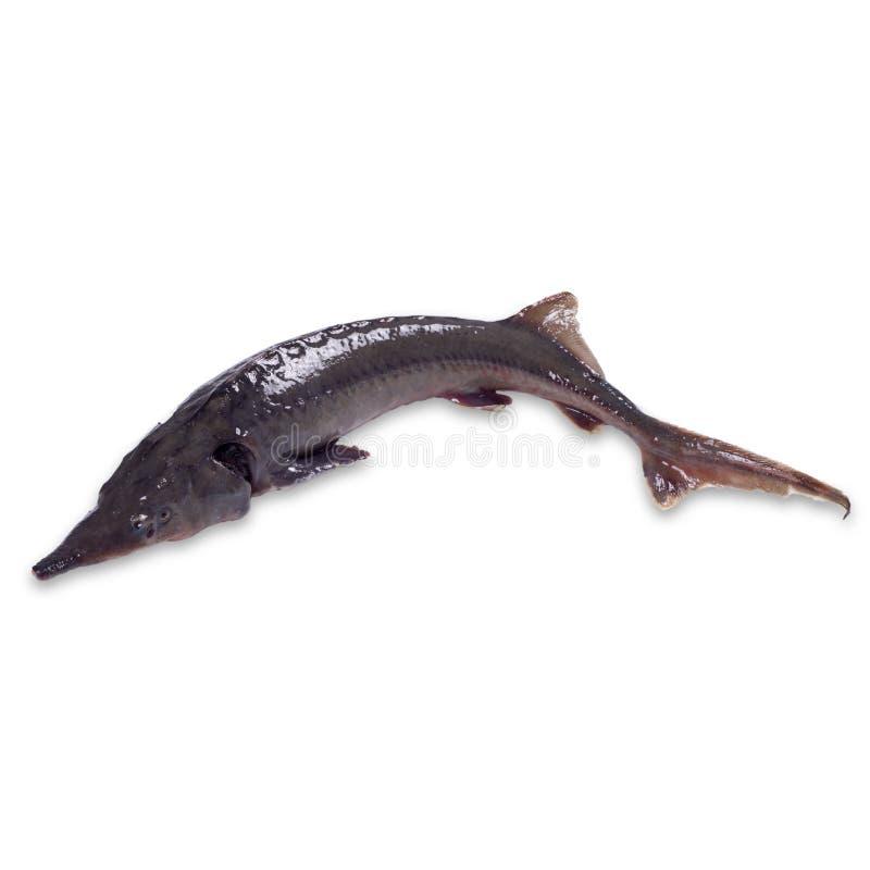 Fresh sturgeon fish on white. Fresh sturgeon fish on white stock photography