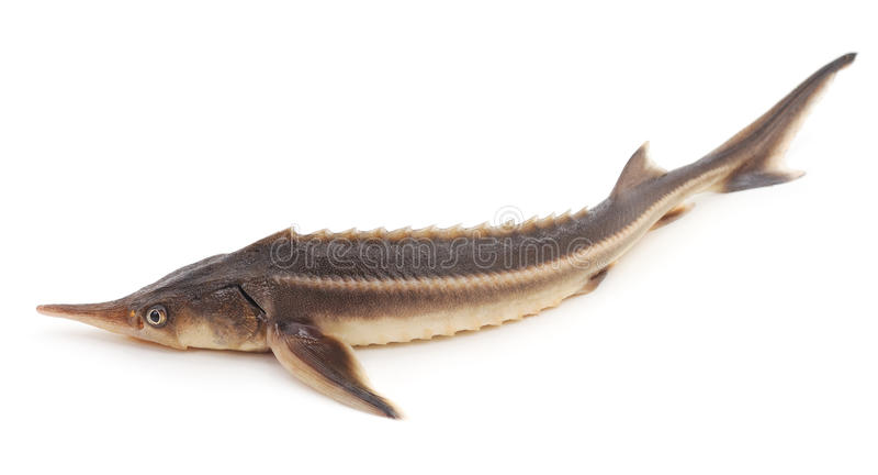 Fresh sturgeon. Fresh sturgeon on a white background stock photo