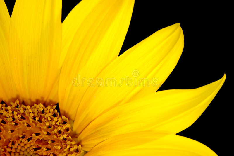 Fresh sunflower isolated stock photography