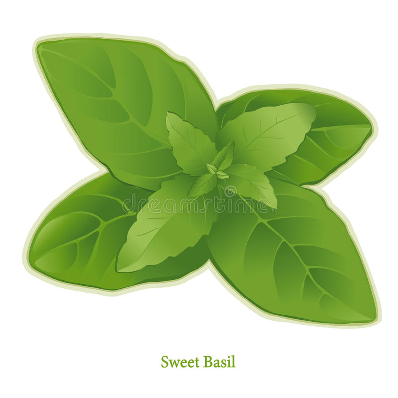 Fresh Sweet Basil Herb royalty free illustration