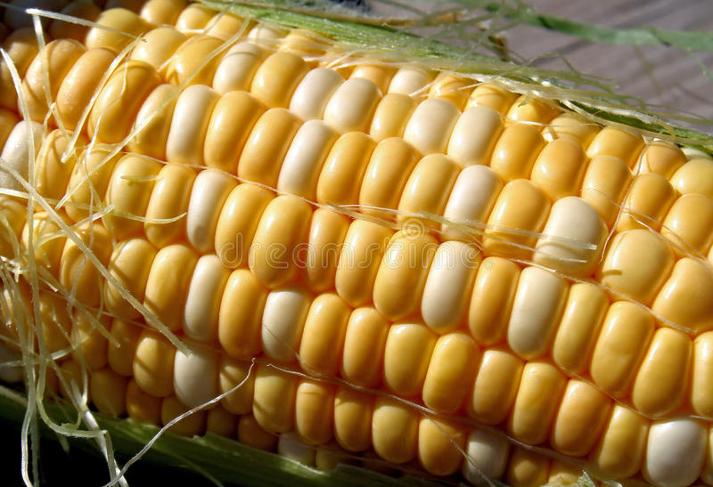 Download Fresh Sweet Corn stock photo. Image of cream, vegetables - 26064412
