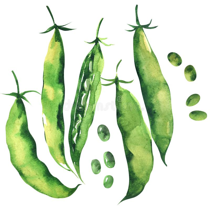 Fresh sweet green pea pod, peas, young sugar snap peas, isolated, hand drawn watercolor illustration on white royalty free illustration