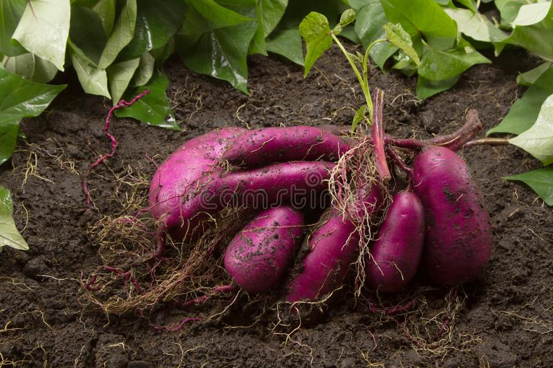Fresh sweet potato produce on dirt harvested from biological organic farm stock images