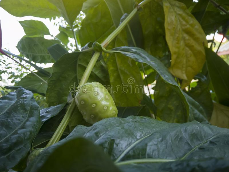 Fresh Tahitian noni, great morinda or Indian mulberry fruit on tree. royalty free stock photography