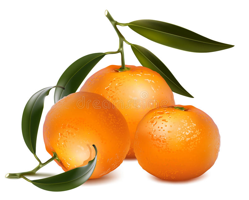 Fresh tangerine fruits with green leaves. Photo-realistic . Fresh tangerine fruits with green leaves royalty free illustration