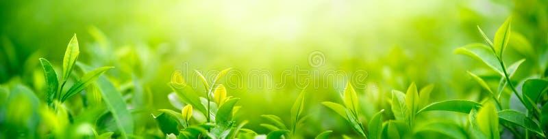 Fresh tea bud and leaves stock photos