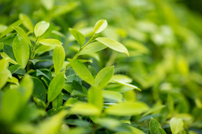 Fresh tea bud and leaves.Tea plantations. natural green plants landscape, ecology, fresh wallpaper concept. stock photography