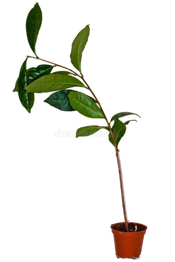 Download Fresh tea plant stock photo. Image of health, detail - 33067320