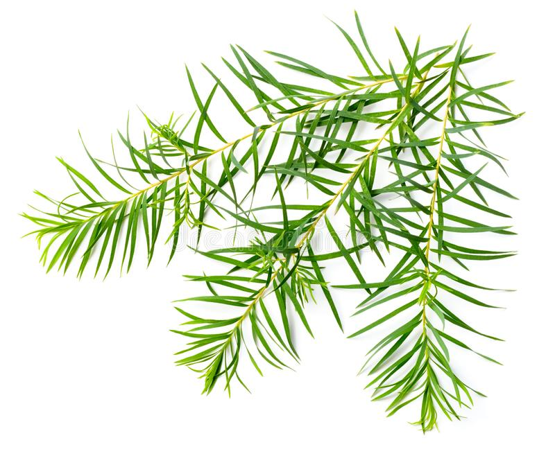 Fresh tea tree leaves isolated on white. Background royalty free stock images