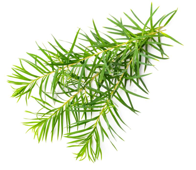 Fresh tea tree leaves isolated on white. Background stock image