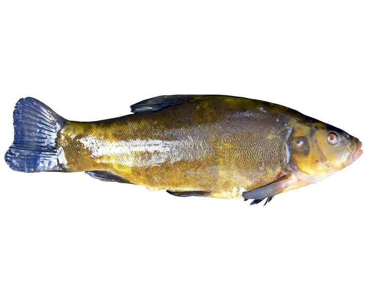 Download Fresh Tench Royalty Free Stock Photography - Image: 17418937