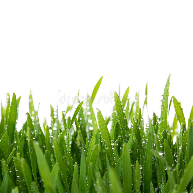 Free Fresh Thick Grass Closeup Royalty Free Stock Photography - 40233677