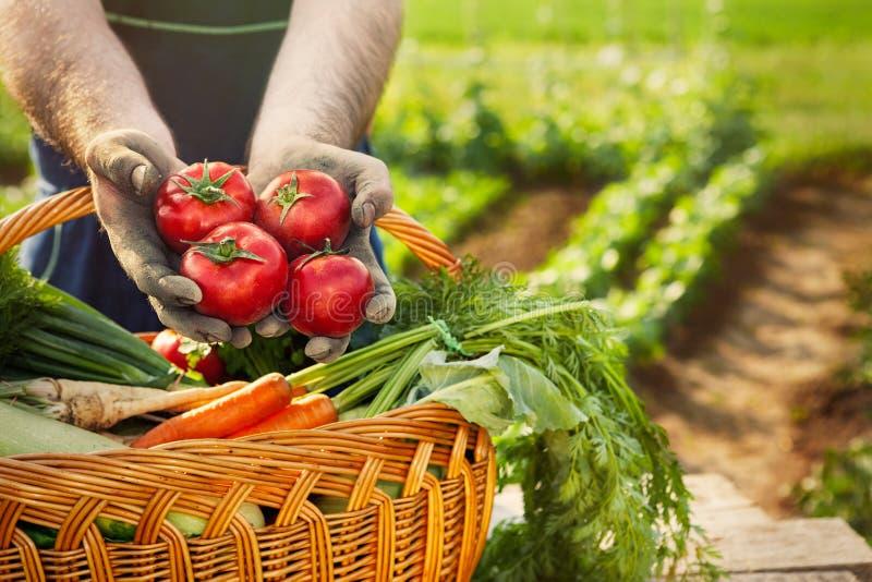 Fresh tomato in gardener hands royalty free stock images