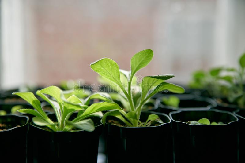 Fresh tomato seedlings growing on a windowsill. Seedlings of peppers and tomatoes in plastic trays on a window. stock photos