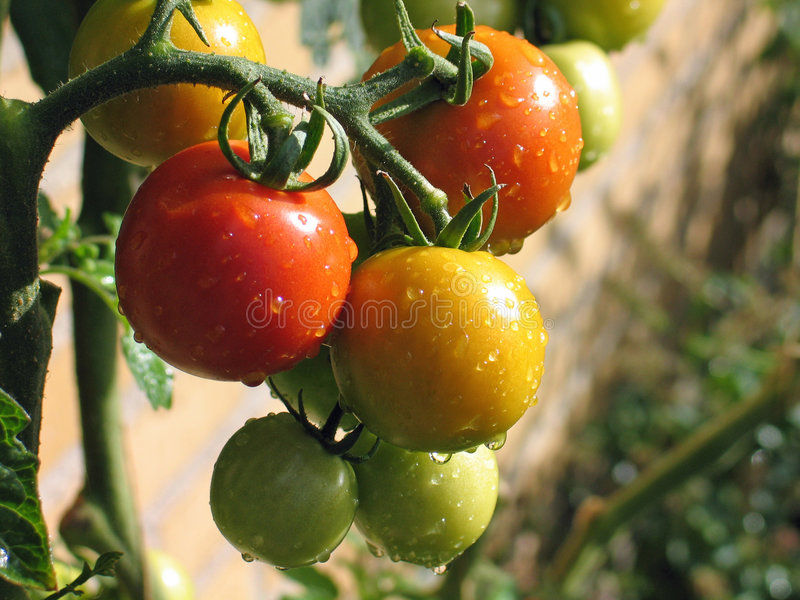 Fresh tomatoes. With water drops in a garden royalty free stock images