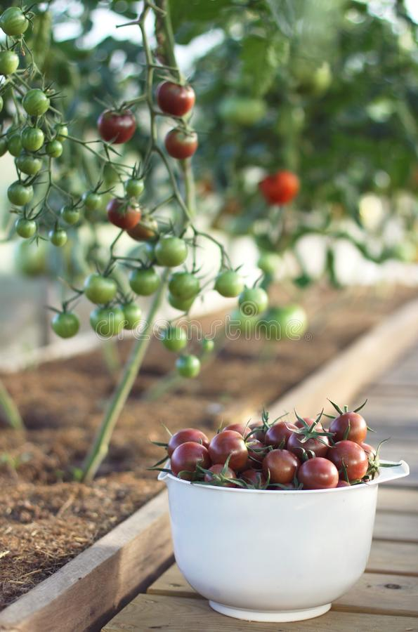 Fresh tomatoes in a bowl stock image