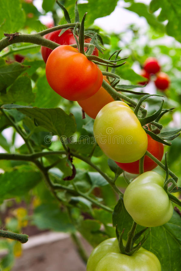 Download Fresh tomatoes on branch stock image. Image of industry - 26001423