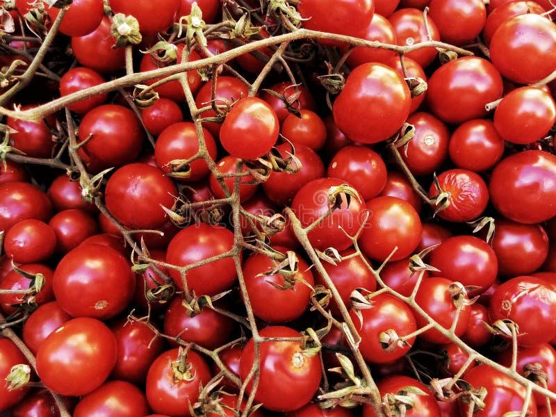 Fresh tomatoes named `datterini`. Fresh harvested tomatoes named `datterini`, ready to be used in a lot of recipe stock images