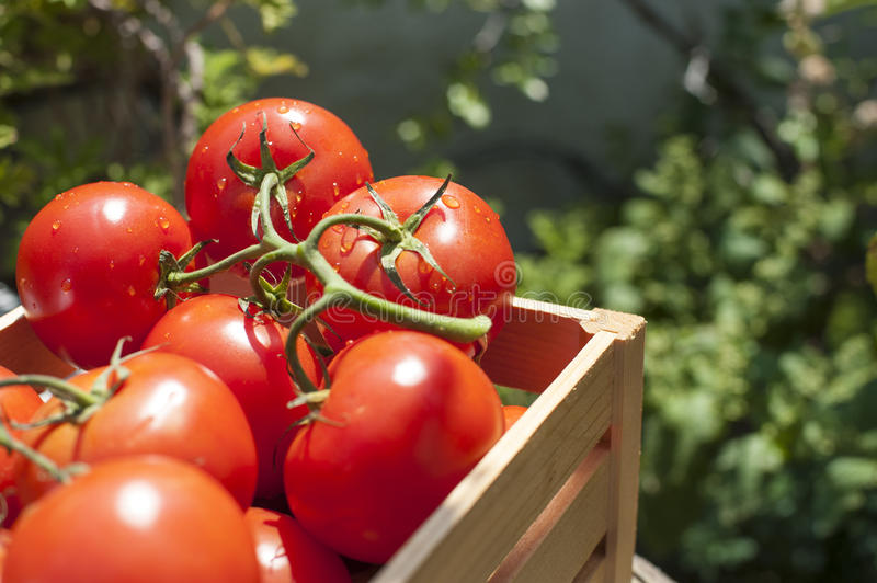 Fresh tomatoes on the vine in a wooden crate royalty free stock photos