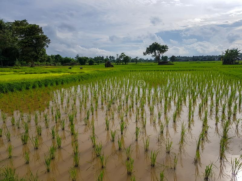 Fresh tranquil evening scene of farmers in light green rice sprout paddy field with trees, water reflection, village and sky. Background, Thailand royalty free stock images