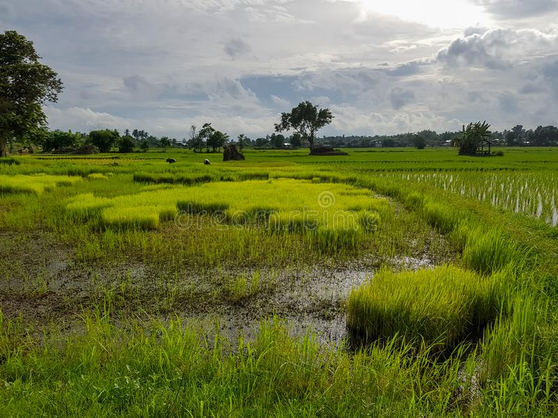 Fresh tranquil evening scene of farmers working in light green rice sprout paddy field with trees, water reflection, village. And sky background, Thailand stock image