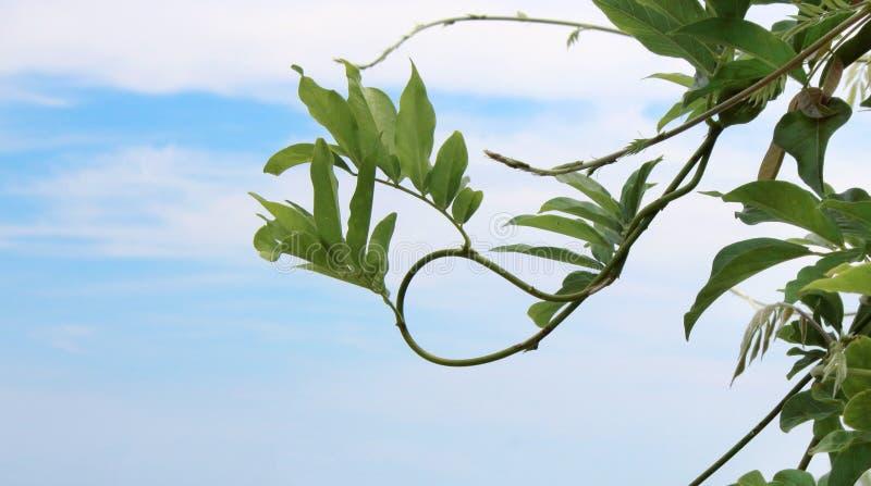 Fresh tropical green leafy vine on blue sky with white clouds background. Fresh tropical green leafy vine on blue sky with clouds background royalty free stock photos