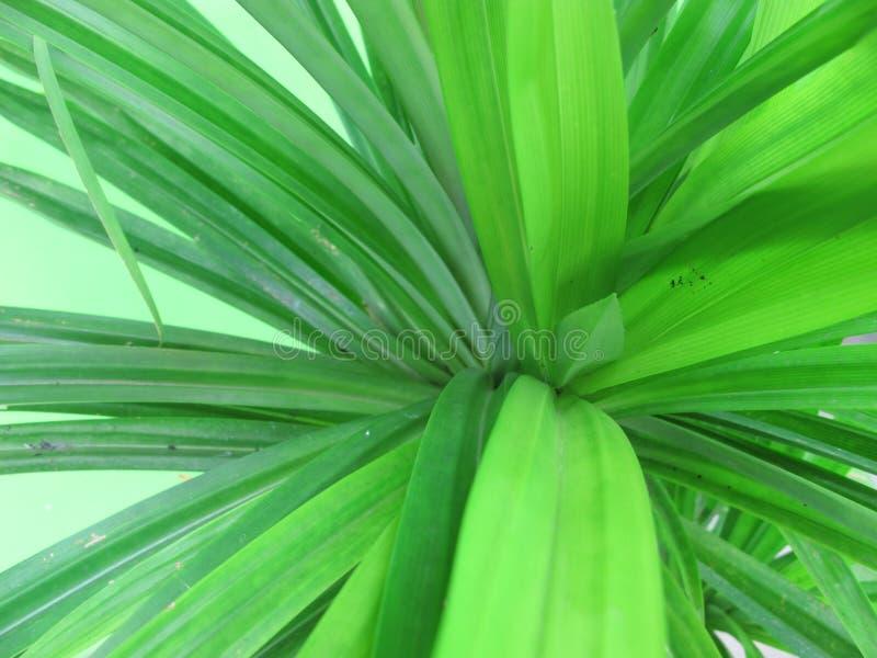 Fresh tropical plant, green pandan or pandanus tree.  royalty free stock images