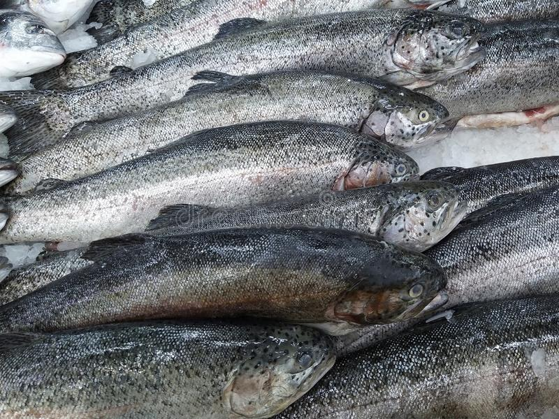Fresh Trout fish on ice crush shelf. Close-up royalty free stock images