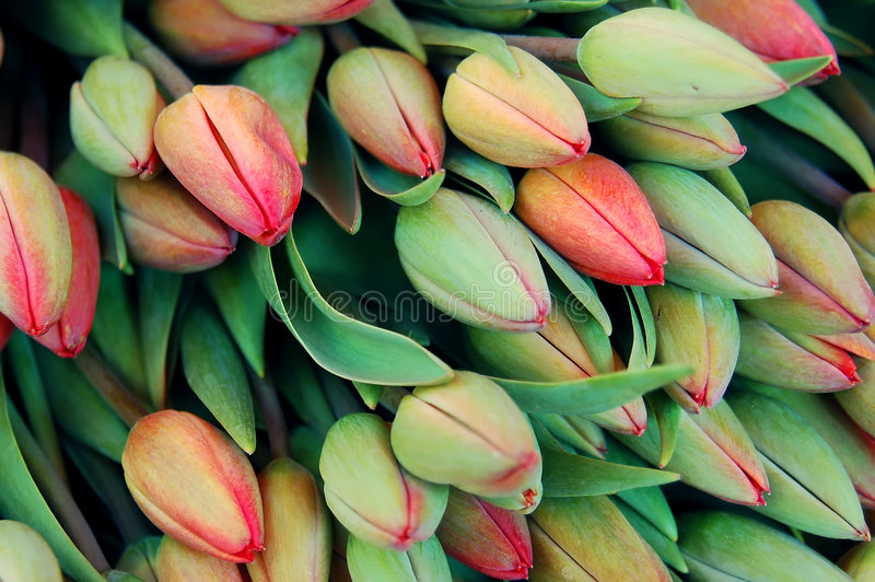 Fresh Tulip Bed Stock Photo