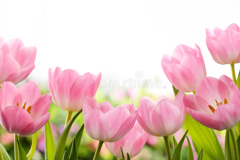 Fresh tulip flowers stock photography