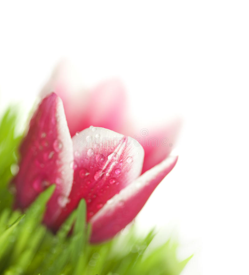 Fresh Tulip and green Grass with drops dew royalty free stock image