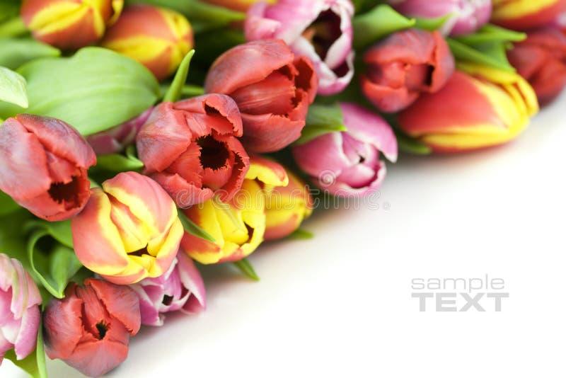 Fresh tulips stock photos