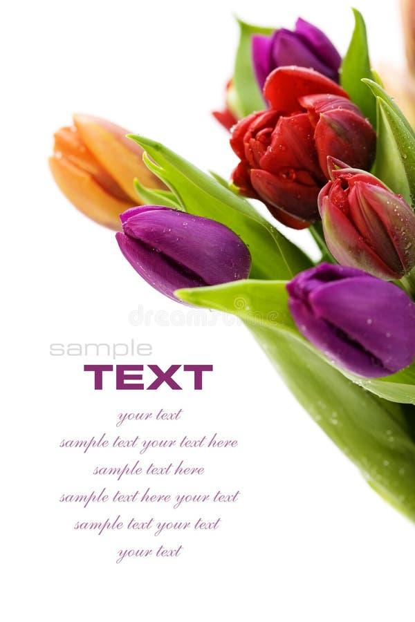 Fresh tulips stock images