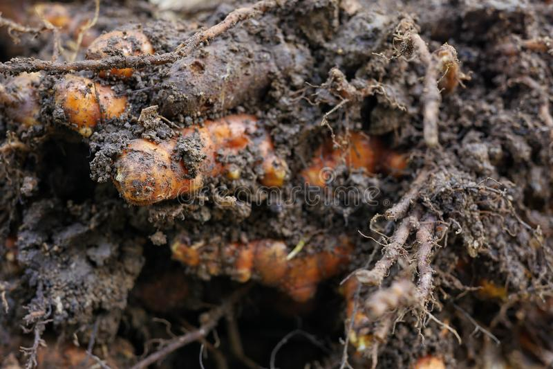 Fresh turmeric from the ground. Fresh turmeric cultivated from the soil stock photos