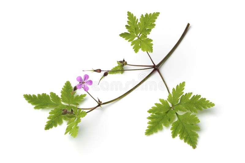 Twig of Roberts geranium royalty free stock image