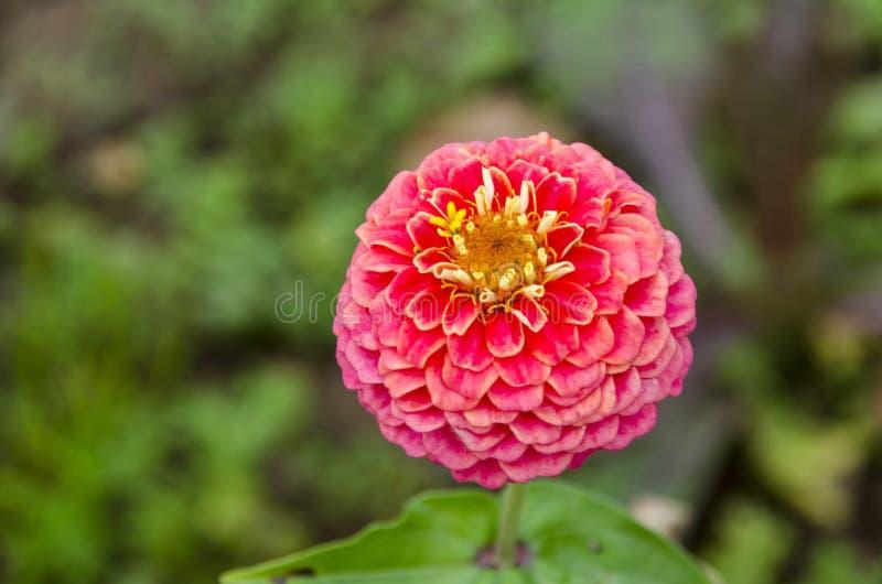 Fresh twig of rose zinnia Flower bloom flower in the garden, Sofia royalty free stock photo