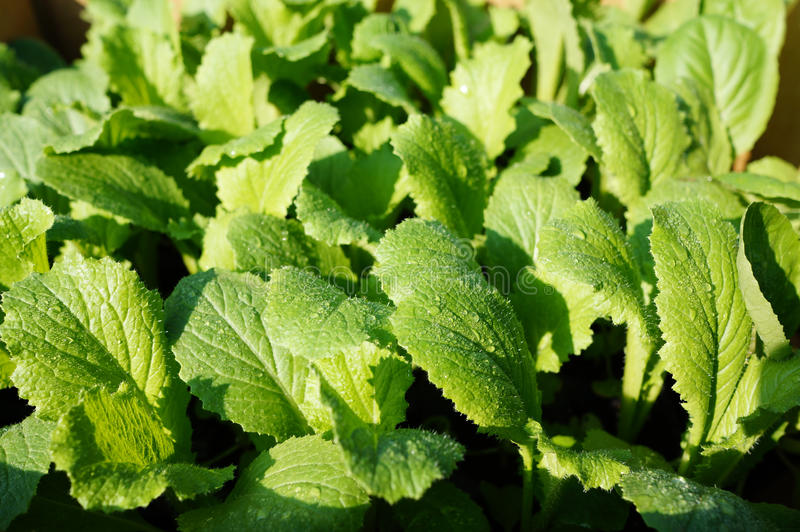 Download Fresh Vegetable stock photo. Image of foliage, green - 27570956