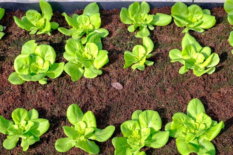 Fresh vegetables grown in the vegetable plot. S stock image