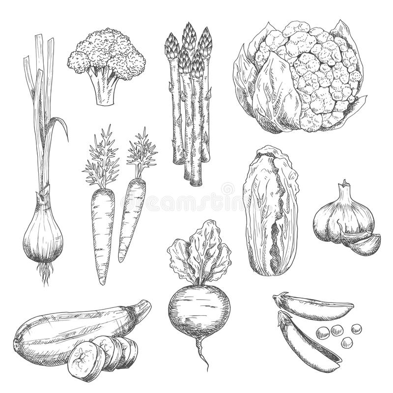 Fresh vegetables sketch for vegetarian food design. Organically grown fresh vegetables sketch for healthy vegetarian food or agriculture design with sweet royalty free illustration