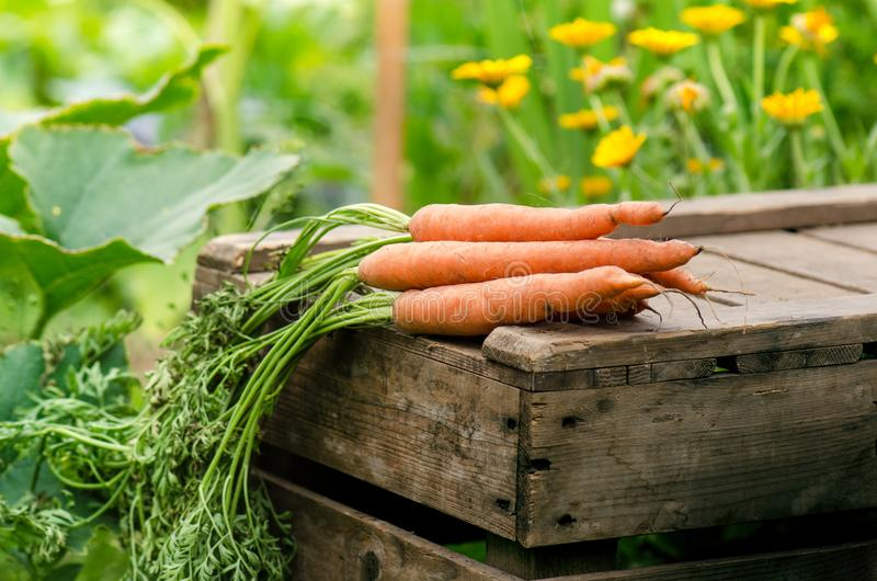 Fresh vegetables on a wooden box in the home garden. Green background from flowers and grass. Organic fresh vegetables. Carrots, c royalty free stock image