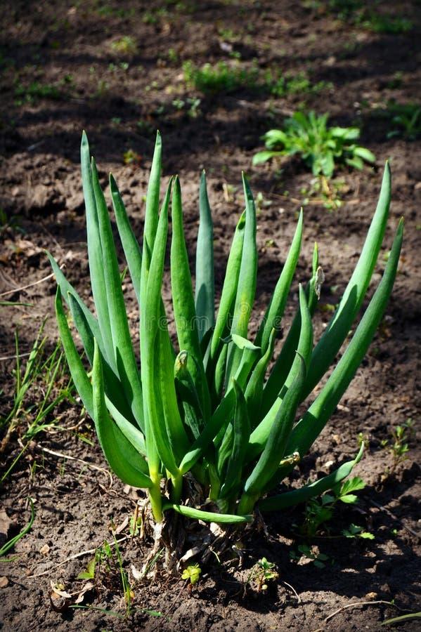 fresh verde vegetablesisolated, macro, natura, fotografia stock libera da diritti