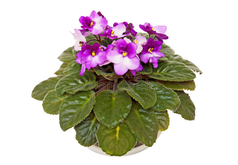Fresh violets stock photos