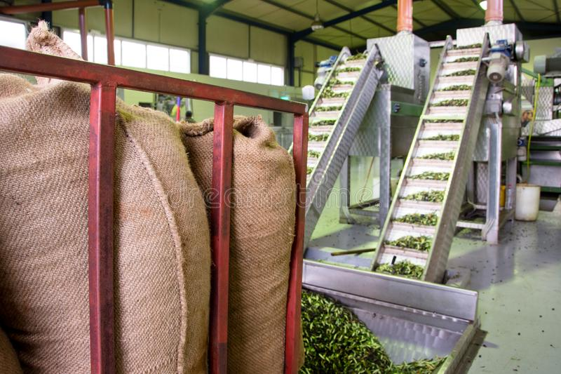Fresh virgin olive oil production at a cold-press factory after the olive harvesting. stock photo