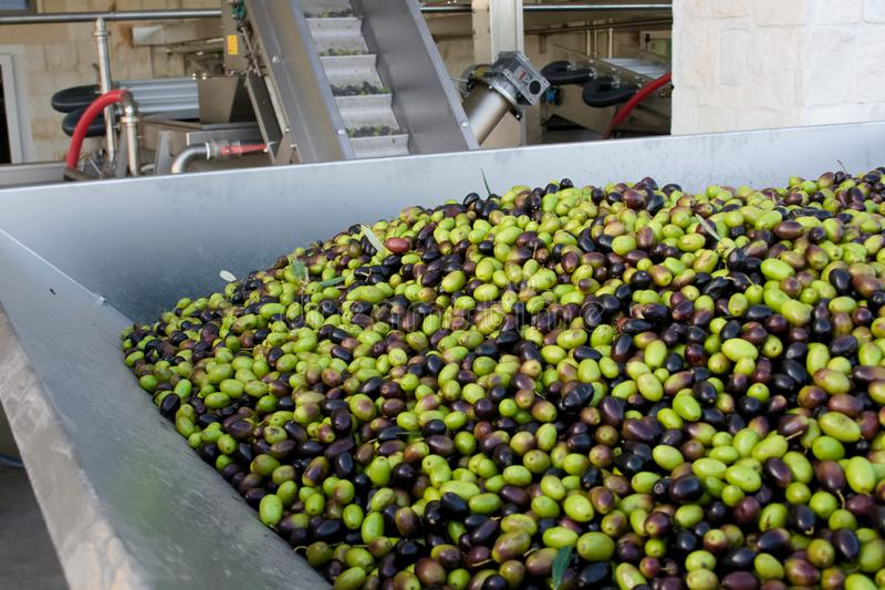 Fresh virgin olive oil production at a cold-press factory after the olive harvesting stock photo