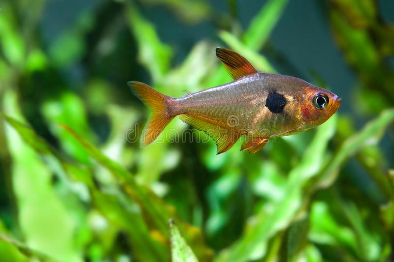 Fresh water aquarium still life. Swimming fish Rosy Tetra. beautiful green planted background, selective focus macro royalty free stock photos