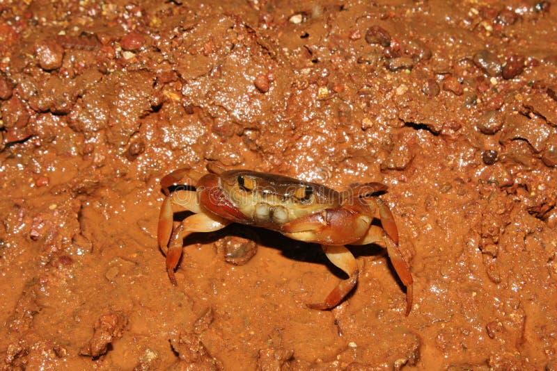 Fresh water crab, Chalkewadi, Satara, Maharashtra stock images